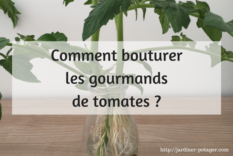 Comment bouturer les gourmands de tomates