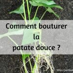 Comment bouturer la patate douce ?