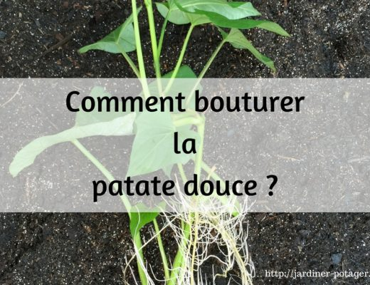 Comment bouturer la patate douce
