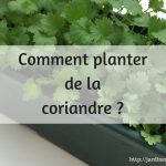 Comment planter la coriandre ?